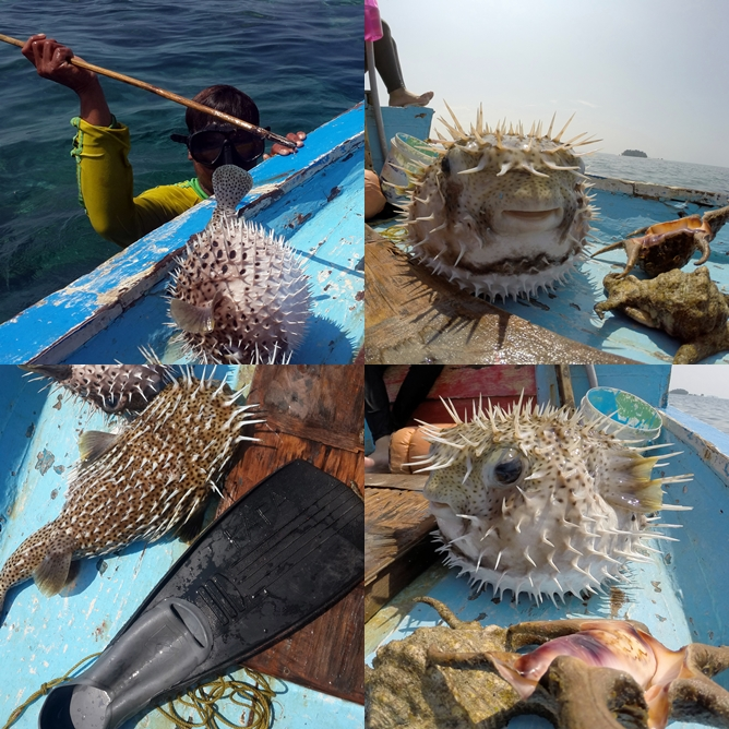 [Upper left clockwise]: 1. Bang Ali with his spear; 2. Puffer fish from the frontside; 3. Puffer fish from the left side; 4. When it's deflated, compared with fin size 38.